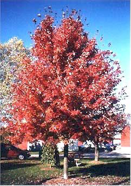 freeman maple tree